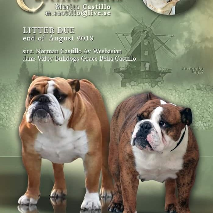Male - Norman Castillo Av Wesbasian and Female - Valby Bulldogs Grace Bella Castillo